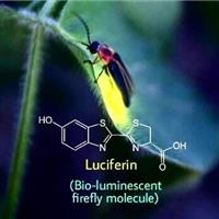 Association Luciferine