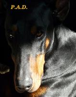 Association Protection Associative Dobermann