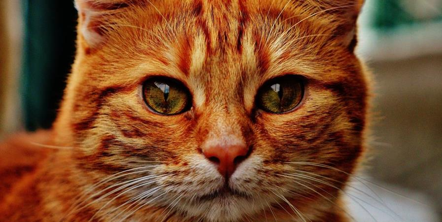 """Adhésion """"Sées au bonheur des chats"""" 2021 - Sées au bonheur des chats"""