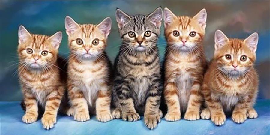 Adhésion - Association Ronrons et chatons