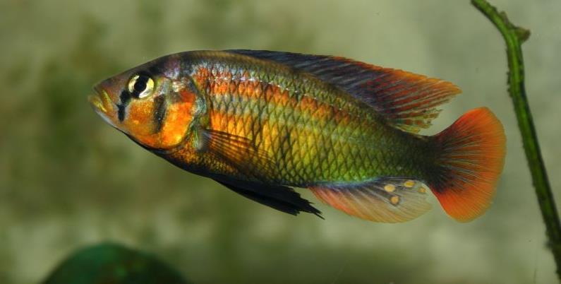 Adhésion Association Haplochromis - Haplochromis