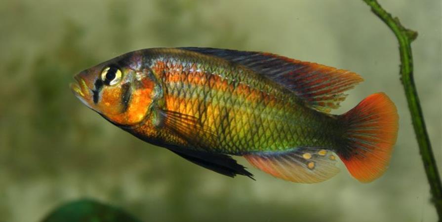 Adhésions Haplochromis 2020 - Haplochromis