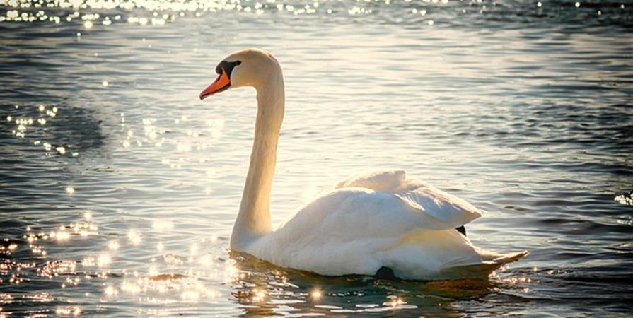 Renouvellement Membre Cygne - 2019 - From Joy to Animals, Nature, Earth