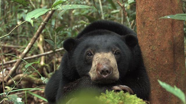 Un enclos pour les ours malais - AVES France