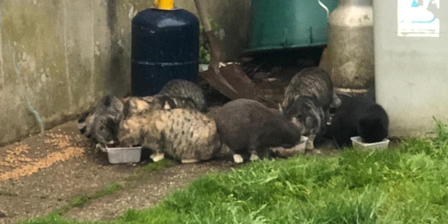 Appel aux dons pour la stérilisation des chats abandonnés au fond de la ferme - Association des p'tits korrigans