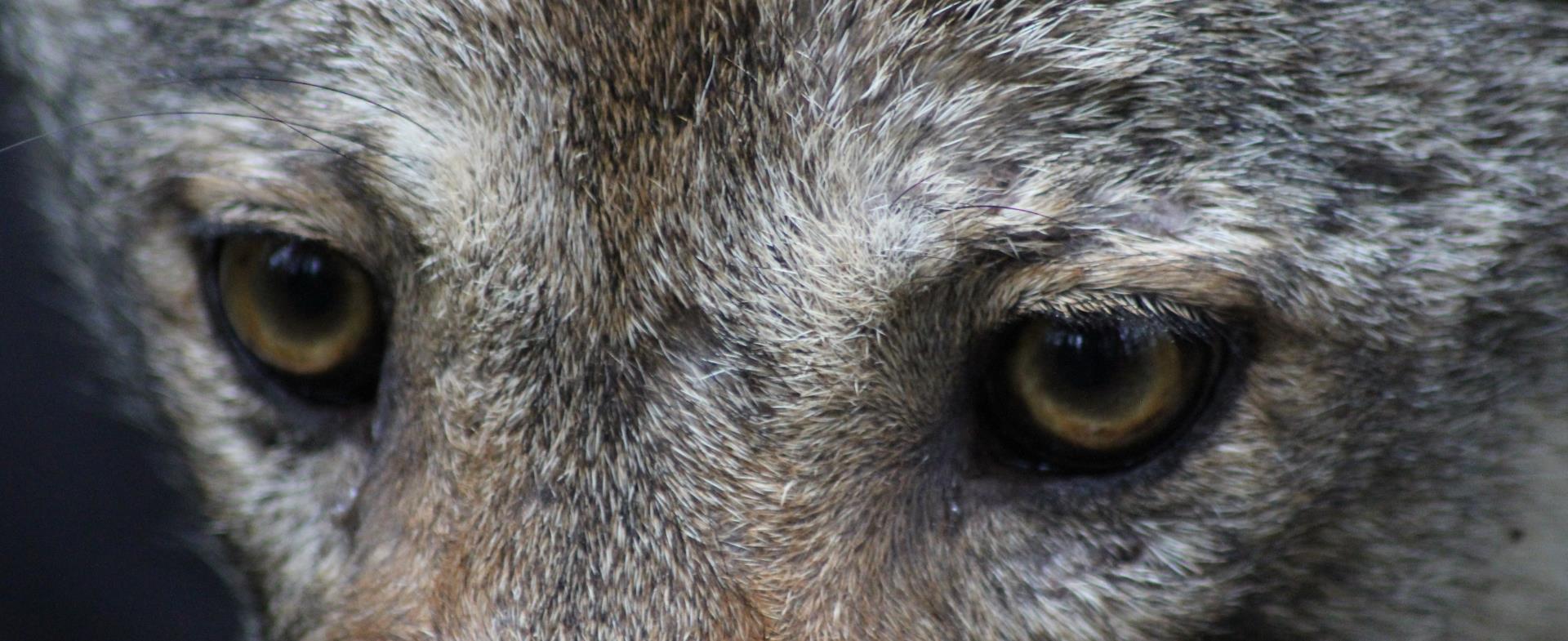 Sur les Traces du Loup - Sur les Traces du Loup