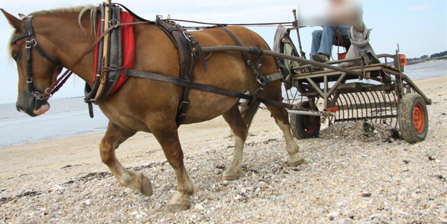 Entretien des plages par traction à cheval  - Association ZALDI LANA