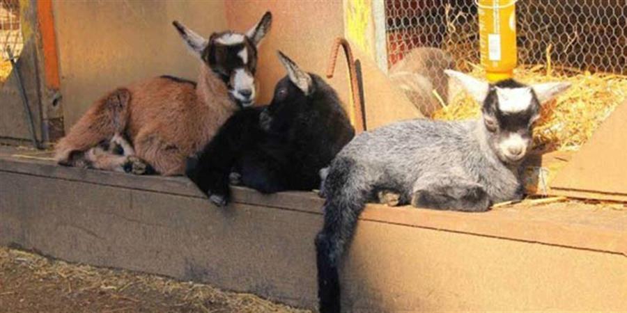 Parrainer les animaux de la Ferme de la Butte Pinson - Les Fermiers de la Francilienne