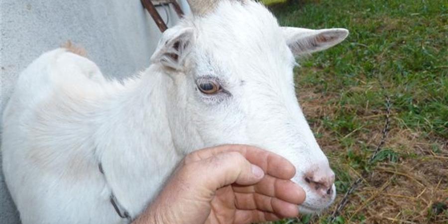 Parrainez la chèvre Blanchette - Animal cross