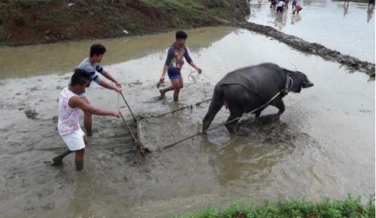 Des carabaos pour l'école agricole de Pataan - Les Oursins* - Enfants des Trottoirs