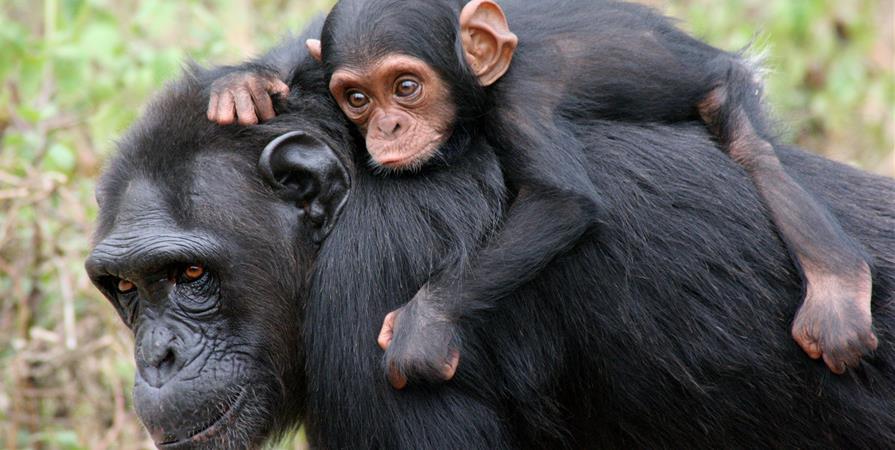 Journée Mondiale du Chimpanzé  - Institut Jane Goodall France