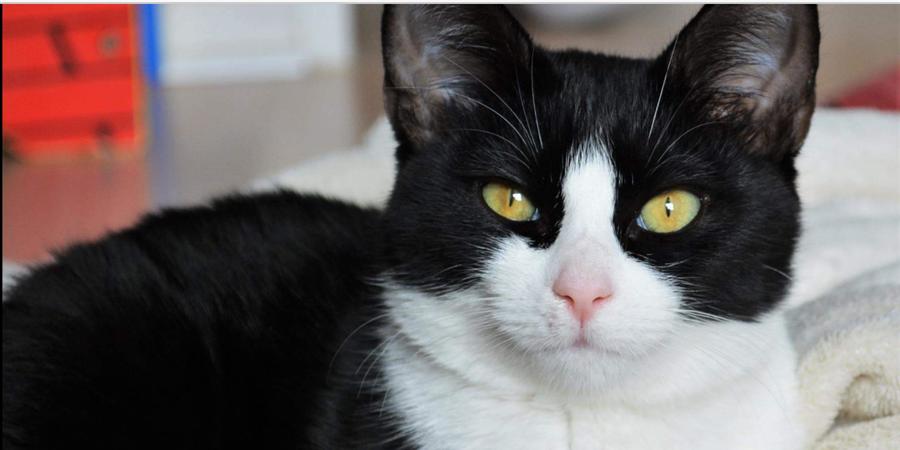 Chirurgie orthopédique pour la chatonne Moussaka - Association Neko