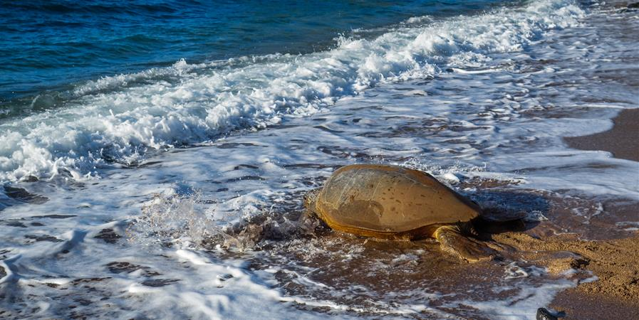 Ensemble, sauvons les tortues marines à Mayotte ! - Les Naturalistes, Environnement et Patrimoine de Mayotte