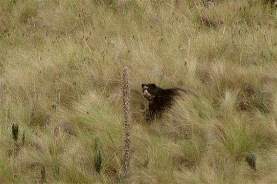 L'ours à lunettes, le tapir des montagnes et les grands prédateurs en Equateur - AVES France