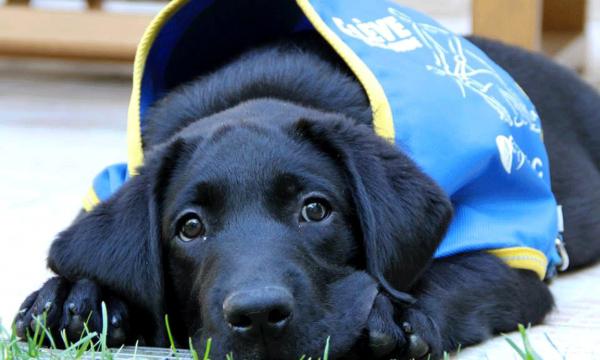 Aide au financement d'un chien guide d'aveugle - Be My Guide