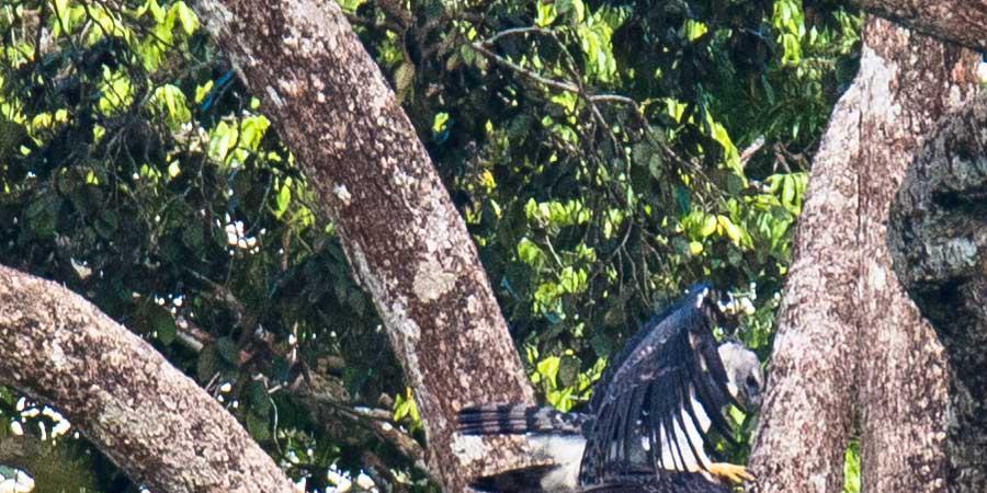 Etude de la nidification de la Harpie - GEPOG