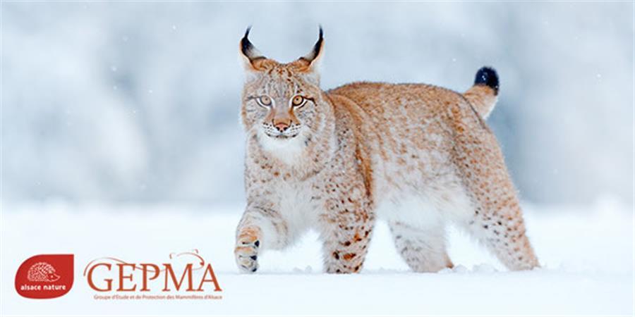 Sauvons le lynx dans les Vosges - ALSACE NATURE