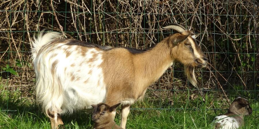 Parrainez la chèvre Laurie - Animal cross
