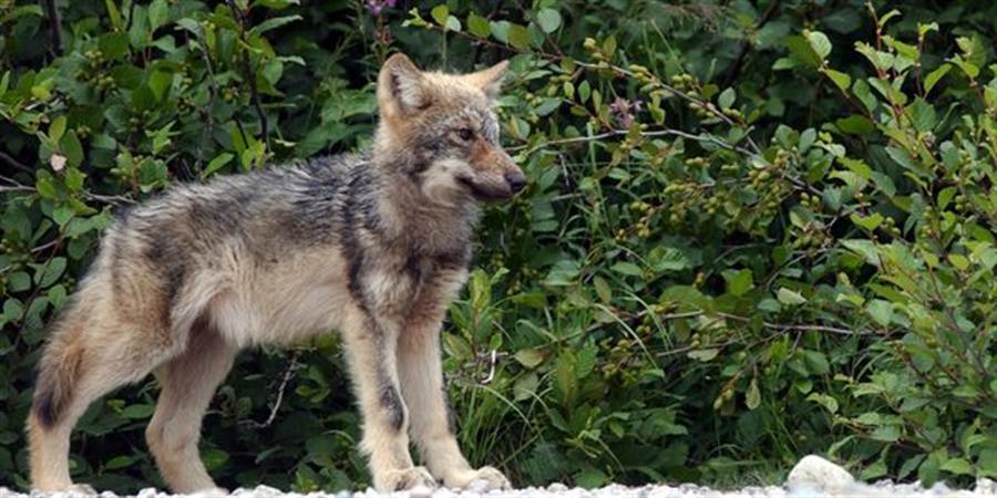 La Grande Évasion en Eeyou Istchee - Projet éducatif sur le loup - Association Peuple Loup