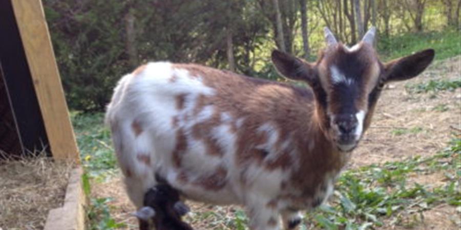 Parrainez la chèvre Miel - Animal cross