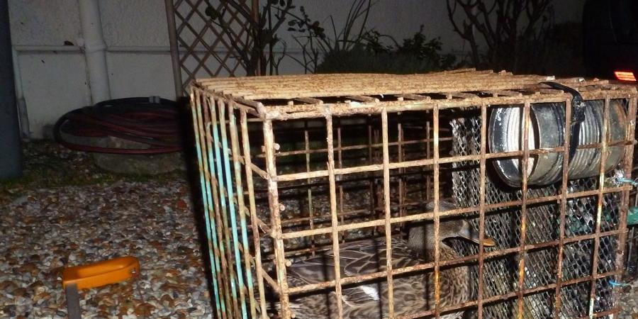 Soutien à Martine convoquée au tribunal pour avoir libéré des canards appelants  - La Boite Militante