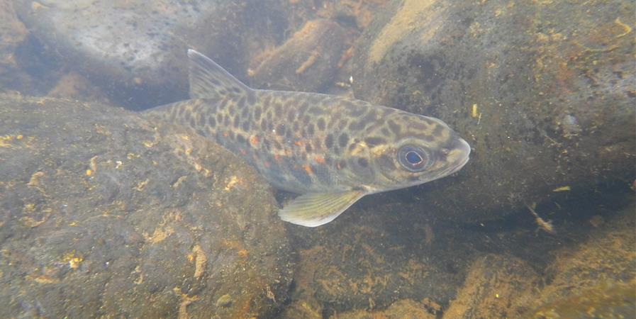 Sensibilisation autour du saumon atlantique de la Garonne - MIGADO