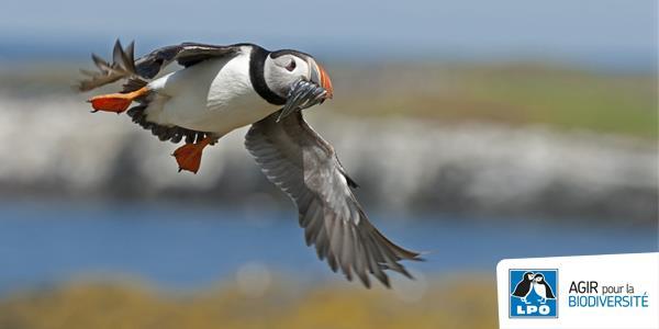 Volons en aide aux oiseaux marins ! avec le Centre de soins LPO de l'Ile Grande - LPO France