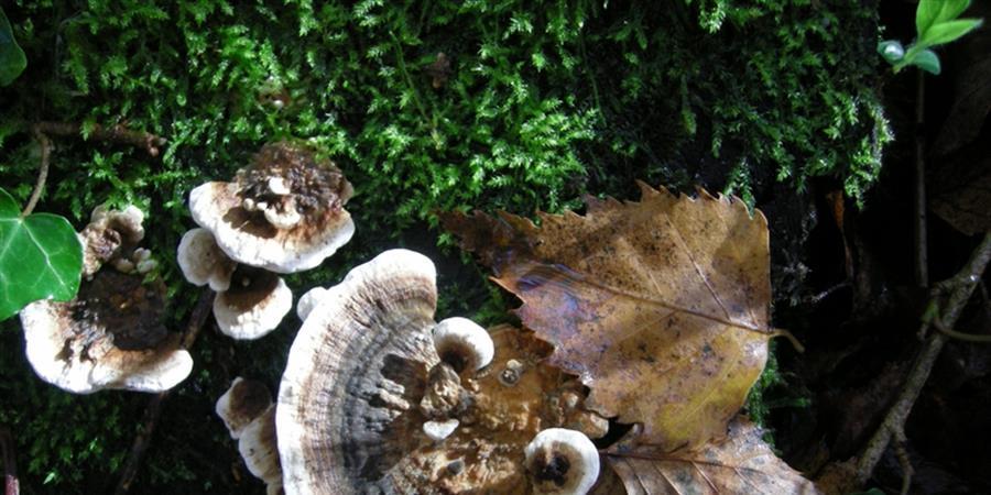 Quel est donc ce champignon ? – Saint Brévin - 07/12-14H - Association Hirondelle