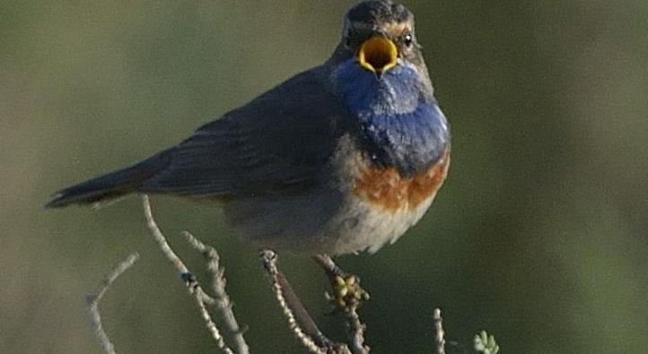 Conférence : reconnaître les oiseaux par leurs chants - Association Hirondelle