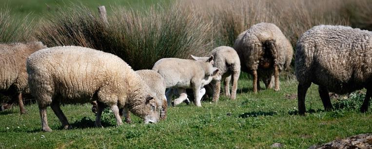 Plantes et Moutons - Association Hirondelle