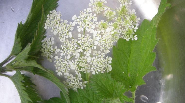 Atelier Cuisine Naturelle : Recette aux plantes sauvages du chef Mathieu Guibert - Association Hirondelle