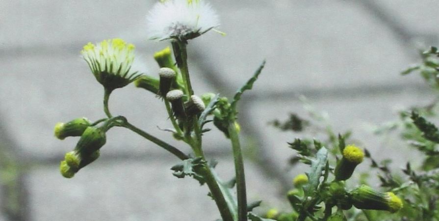 #37 Découvrir les plantes sauvages des bitumes - Reflets - CPIE Terre Toulousaines