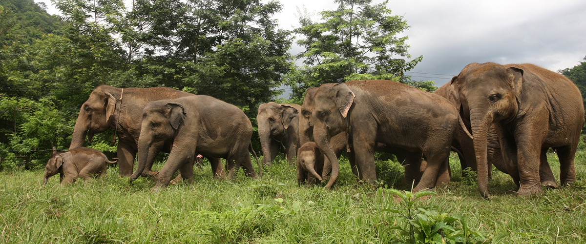 elephant - surin projetc