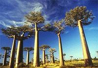 baobab-cielbleu