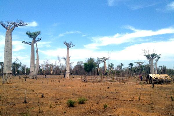 Hatsake - forêt de Baobabs