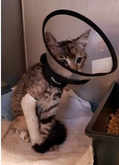 Busca mordue par un chien au crâne et à la patte et qui a dû être opérée en urgence.